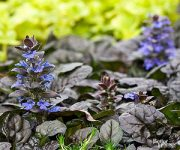 Plant Encyclopedia: Ajuga - Bless My Weeds| Ajuga, Ajuga Plant, Ajuga Plant Care, Plant Care Tips and Tricks, Gardening, Garden, Gardening Tips and Tricks, Caring for Ajuga, How to Care for Ajuga, Landscape, DIY Landscape #Ajuga #PlantCare #Gardening