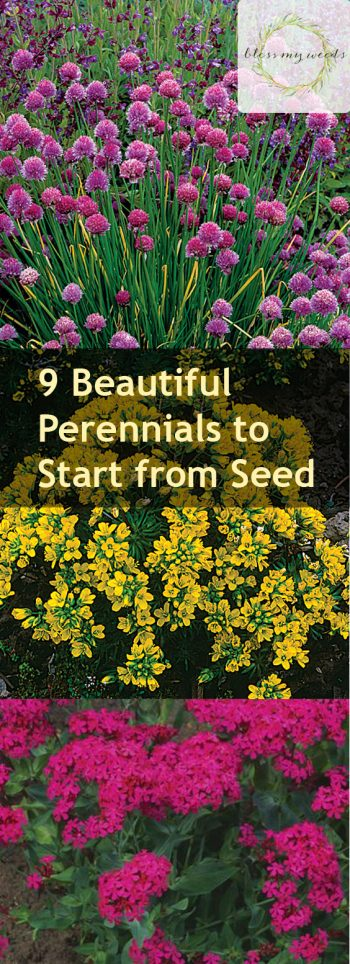 9 Beautiful Perennials to Start from Seed - Bless My Weeds| Perennial, Perennial Plants, Perennial Gardening, Perennial Gardening TIps and Tricks, Gardening, Growing Perennials, How to Grow and Care for Perennials, Perennial Care Tips and Tricks, Popular Pin #Gardening #Perennials #PerennialCare