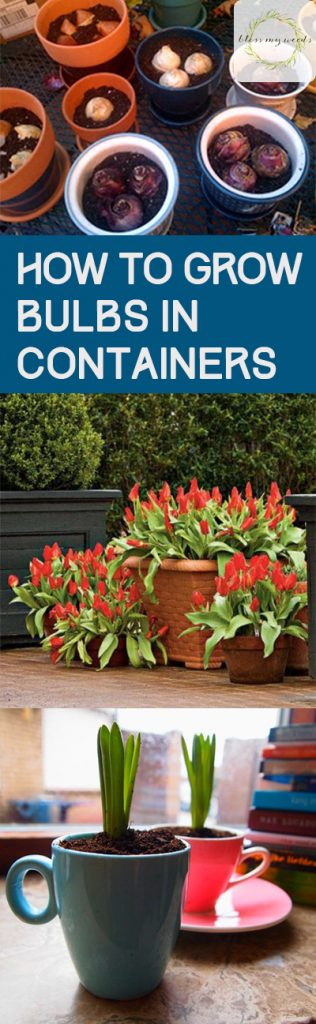 How to Grow Bulbs in Containers - Bless My Weeds| Bulbs, How to Grow Bulbs, How to Grow Bulbs In Containers, Gardening, Gardening Tips and Tricks, Easy Gardening TIps and Tricks. #Gardening #ContainerGardening #BulbGardening
