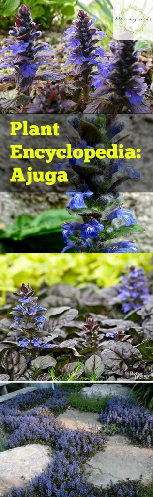 Plant Encyclopedia: Ajuga - Bless My Weeds  Ajuga, Ajuga Plant, Ajuga Plant Care, Plant Care Tips and Tricks, Gardening, Garden, Gardening Tips and Tricks, Caring for Ajuga, How to Care for Ajuga, Landscape, DIY Landscape #Ajuga #PlantCare #Gardening
