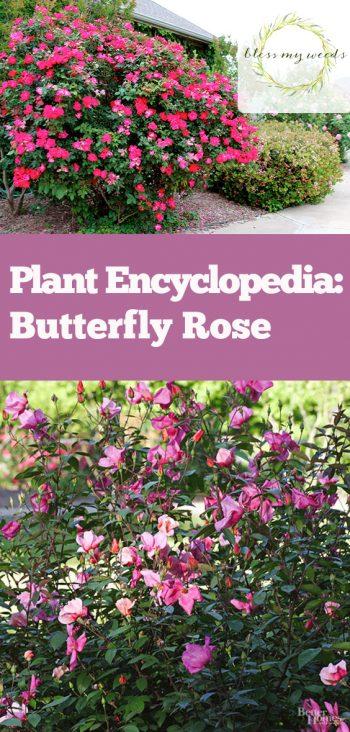 Plant Encyclopedia: Butterfly Rose - Bless My Weeds  Butterfly Rose, Butterfly, Gardening, Growing Rose, Growing Butterfly Rose, How to Grow Butterfly Rose, Gardening 101, Gardening Tips and Tricks, Popular Pin #Gardening #ButterflyRose