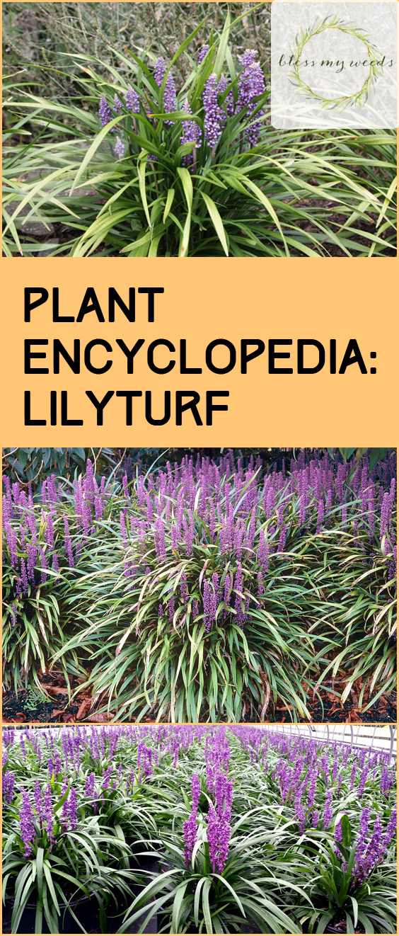 Plant Encyclopedia: Lilyturf - Bless My Weeds| Lilyturf, Lilyturf Care, Caring for Lilyturf, How to Care and Maintain Lilyturf, Gardening, Gardening TIps, Gardening TIps and Tricks, Plant Encyclopedia. #Gardening #Lilyturf