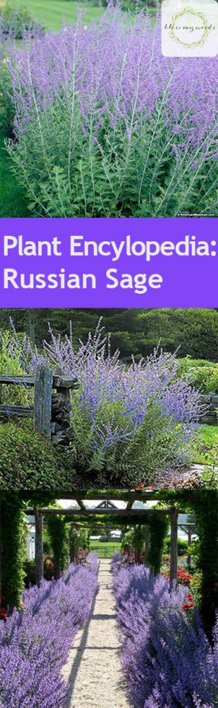 Plant Encylopedia: Russian Sage - Bless My Weeds| Caring for Russian Sage, How to Care for Russian Sage, Gardening, Gardening Hacks, Gardening 101, How to Care for Russian Sage, Caring for Russian Sage, Plant Care, Popular Pin #Gardening #RussianSage