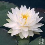 Plant Encyclopedia: Water Lily| Water Lily, Growing Water Lily, How to Grow Water Lily, Gardening, Gardening Tips and Tricks, Gardening 101, How to Grow Water Lily In Your Yard, Landscaping, Landscaping Tips and Tricks, Popular Pin #WaterLily #Landscaping