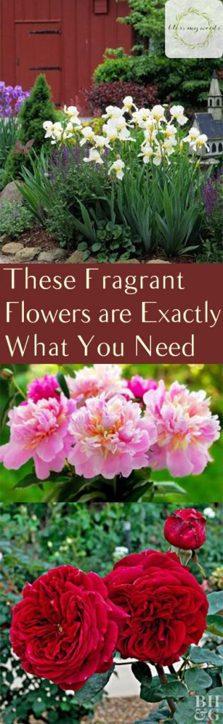 These Fragrant Flowers are Exactly What You Need - Bless My Weeds| Flowers, Flower Care, How to Care for Flowers, Easily Care for Flowers, Gardening, Gardening Care, Easy Gardening Care, Flowers for Gardens #Gardening #FlowerCare #Garden #Landscape