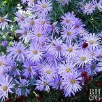 Plant Encyclopedia: Aster - Bless My Weeds| Flower Garden Ideas, Garden Ideas, Front Garden Ideas, Flower Gardening for Beginners, Gardening for Beginers Flower, Gardening, Gardening Design, Flower Gardening, Garden Ideas DIY #FlowerGardening #Gardening #GardeningforBeginnersFlower, #GardenIdeas #FlowerGardenIdeas