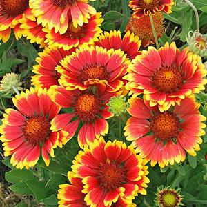 Plant Encyclopedia: Blanket Flower - Bless My Weeds| Garden Ideas, Gardening Ideas, Gardening for Beginners, Flower Garden, Flower Gardening, Flower Gardening for Beginners