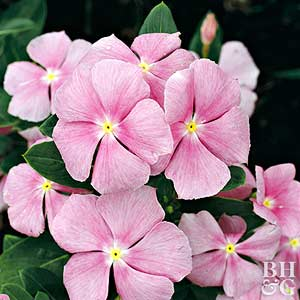 Plant Encyclopedia: Annual Vinca - Bless My Weeds| Flower Gardening for Beginners, Flower Garden, Gardening, Garden Ideas, Flower Garden Ideas, Flower Gardening Ideas, Flower Gardening for Beginners, Gardening Ideas, Popular Pin, Vinca Flowers #FlowerGardeningIdeas #FlowerGarden #Gardening #FlowerGardenIdeas #Flowers