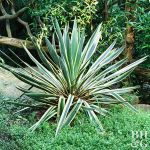 Plant Encyclopedia: Yucca - Bless My Weeds  Yucca Plant, Gardening, Garden Ideas, Front Garden Ideas, Garden Ideas, Flower Garden Ideas, Gardening for Beginners, Outdoor DIY #Gardening #YuccaPlant #GardenIdeas #OutdoorDIY