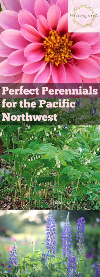 Perfect Perennials for the Pacific Northwest - Bless My Weeds| Perennial Plants, How to Grow Perennial Plants, Growing Perennial Plants, Easily Grow Perennial Plants, Perennial Care, Gardening, Gardening Care Tips, Tips for Gardening Care #Perennial #PerennialGardening #Gardening