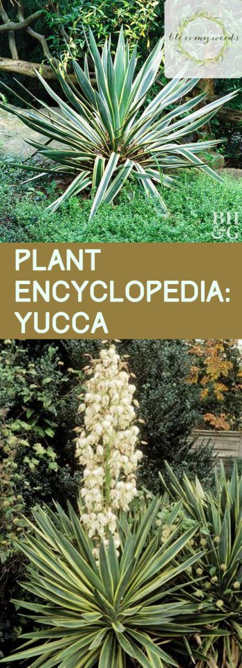 Plant Encyclopedia: Yucca - Bless My Weeds| Yucca Plant, Gardening, Garden Ideas, Front Garden Ideas, Garden Ideas, Flower Garden Ideas, Gardening for Beginners, Outdoor DIY #Gardening #YuccaPlant #GardenIdeas #OutdoorDIY
