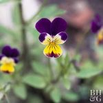 Plant Enyclopedia: Violet - Bless My Weeds  Growing Violet, How to Grow Violet, Plant Care, DIY Plant Care, Gardening, Gardening TIps, Gardening TIps and Tricks, Gardening Care, Popular Pin #Violet #Gardening #Landscaping #PlantCare