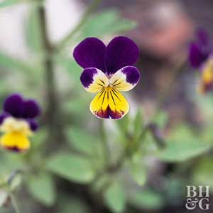 Plant Enyclopedia: Violet - Bless My Weeds| Growing Violet, How to Grow Violet, Plant Care, DIY Plant Care, Gardening, Gardening TIps, Gardening TIps and Tricks, Gardening Care, Popular Pin #Violet #Gardening #Landscaping #PlantCare