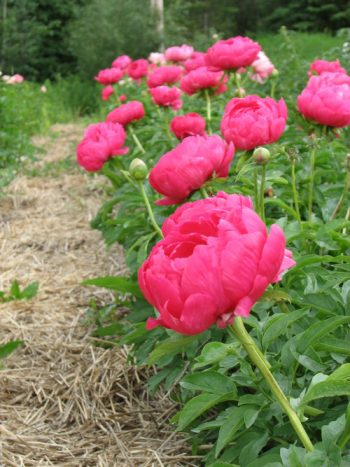 How to Divide Peonies - Bless My Weeds| Garden, Gardening, Gardening for Beginners, Peonies, Peonies Garden, Peony Garden, Caring for Peonies , Peonies how to Grow, Peonies Care Tips #PeonyGarden #PeoniesHowtoGrow #Gardening #FlowerGardening #FlowerGardeningforBeginners
