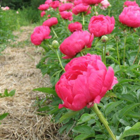 How to Divide Peonies - Bless My Weeds| Garden, Gardening, Gardening for Beginners, Peonies, Peonies Garden, Peony Garden, Caring for Peonies , Peonies how to Grow, Peonies Care Tips #PeonyGarden #PeoniesHowtoGrow #Gardening #FlowerGardening #FlowerGardeningforBeginners