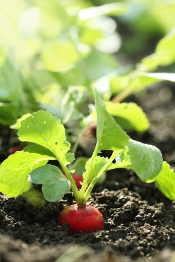 Planning on vegetable gardening? Keep these gardening tips and tricks in mind! A simple guide to avoid planting the wrong veggies next to each other ever again. Vegetable gardening hacks that you never knew about until now! Ideas to help you grow award winning vegetables.