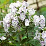 Gardening Guide: Phlox - Bless My Weeds| Flower Garden Ideas, Flower Garden, Gardening Ideas, Flower Gardening, Phlox, Phlox Plant Care, Garden Ideas