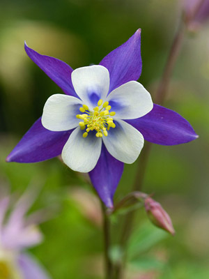 Plant Encyclopedia: Columbine - Bless My Weeds| Garden Ideas,  Flower Gardening, Flower Gardening for Beginners, Gardening Ideas, Gardening for Beginners