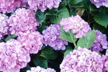 How to Care for Hydrangeas - Bless My Weeds| Hydrangea Care, Garden Ideas, Flower Garden Ideas, Flower Garden, Garden Ideas, Flower, Plant Care