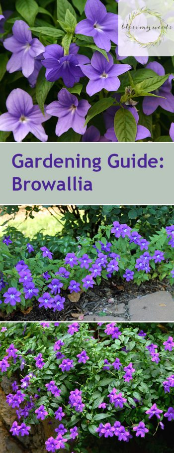 Gardening Guide: Browallia - Bless My Weeds | Flower Garden, Flower Garden Ideas, Gardening, Backyard Gardening Ideas, Simple Gardening Ideas, Flower Garden Care Tips