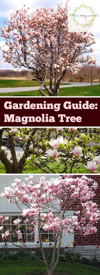 Gardening Guide Magnolia Tree - Bless My Weeds| Garden Ideas Trees, Garden Ideas DIY, Backyard Garden Ideas, Front Garden Ideas, Trees, Tree Gardening