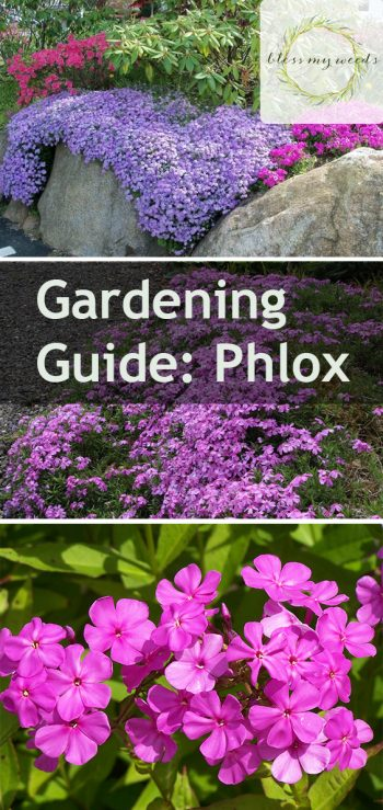 Gardening Guide: Phlox - Bless My Weeds|  Flower Garden Ideas, Flower Garden, Gardening Ideas, Flower Gardening, Phlox, Phlox Plant Care, Garden Ideas