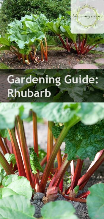 Gardening Guide: Rhubarb - Bless My Weeds | Growing Rhubarb, Growing Rhubarb Plants, Vegetable Gardening, Vegetable Gardening for Beginners, Gardening, Gardening Ideas, Gardening Tips Garden Ideas