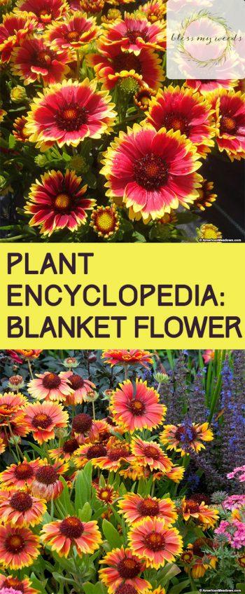 Plant Encyclopedia: Blanket Flower - Bless My Weeds  Garden Ideas, Gardening Ideas, Gardening for Beginners, Flower Garden, Flower Gardening, Flower Gardening for Beginners