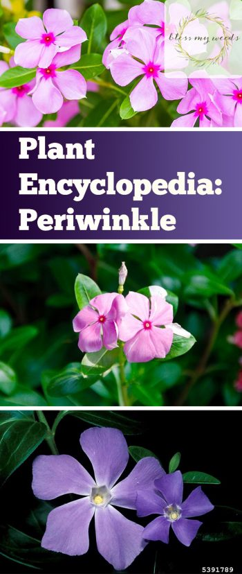 Plant Encyclopedia: Periwinkle - Bless My Weeds| Flower Gardening, Flower Gardening for Beginners, Gardening Ideas, Flower Gardening Ideas, Garden Ideas