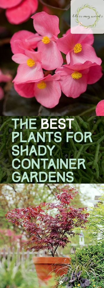 The BEST Plants for Shady Container Gardens - Bless My Weeds|  Container Garden, Container Gardening, Gardening Ideas, COntainer Gardening Ideas, Shade Garden, Shade Garden Ideas, Shade Gardening, Shade Gardening Design