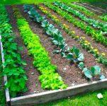 10 Vegetable Gardening Hacks Beginners NEED to Know - Bless My Weeds  Vegetable Gardening, Vegetable Gardening Tips for Beginners, Gardening Tips, Garden Ideas, Gardening Ideas, Gardening for Beginners