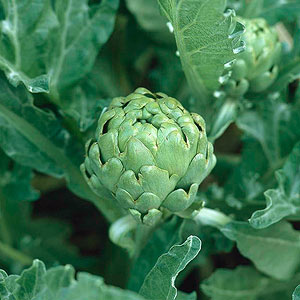 Gardening Guide: Artichoke - Bless My Weeds| Growing Artichoke, Artichoke, Garden Ideas, Vegetable Garden, Vegetable Gardening for Beginners, Gardening Tips, Gardening Tricks, Gardening Ideas