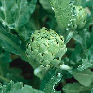 Gardening Guide: Artichoke - Bless My Weeds| Growing Artichoke, Artichoke, Garden Ideas, Vegetable Garden, Vegetable Gardening for Beginners, Gardening Tips, Gardening Tricks, Gardening Ideas