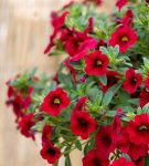 Gardening Guide: Calibrachoa - Bless My Weeds | Growing Calibrachoa, Calibrachoa, Flower Gardening, Flower Garden Ideas, Gardening for Beginners, Gardening Ideas