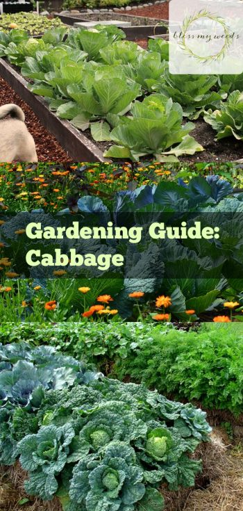 Gardening Guide: Cabbage - Bless My Weeds| Growing Cabbage, Cabbage, Vegetable Garden, Vegetable Gardening, Gardening, Gardening for Beginners, Vegetable Gardening for Beginners, Garden Ideas
