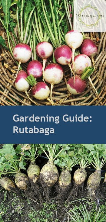 Gardening Guide: Rutabaga| Growing Rutabaga ,Rutabaga, Garden Ideas, Gardening Ideas, Vegetable Garden, Vegetable Gardening for Beginners, Vegetable Gardening Ideas