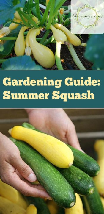 Gardening Guide: Summer Squash - Bless My Weeds | Growing Summer Squash, Vegetable Gardening, Vegetable Gardening for Beginners, Gardening, Gardening Tips, Gardening Ideas, Vegetable Garden