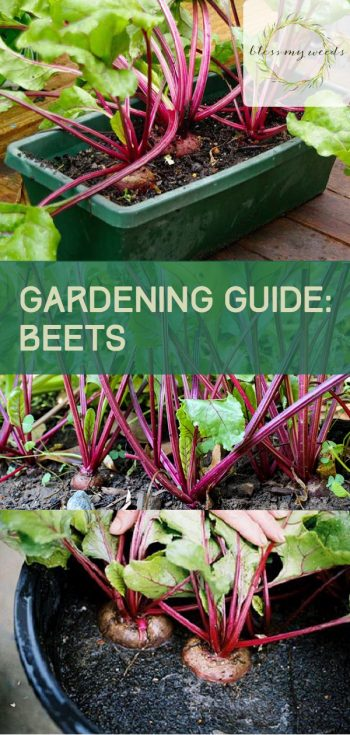 Gardening Guide: Beets | Growing Beets | Beets | Gardening | Growing Beets Tips and Tricks | Gardening Guide | Beets Gardening Guide