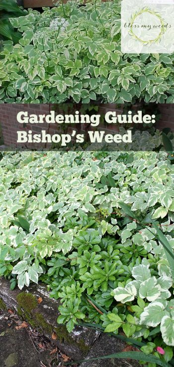 Gardening Guide: Bishop's Weed | Bishop's Weed | Garden | Bishop's Weed Plant | Gardening Guide | Tips and Tricks