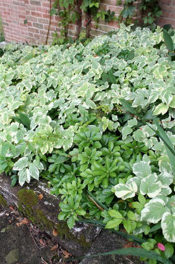 Gardening Guide: Bishop's Weed   Bishop's Weed   Garden   Bishop's Weed Plant   Gardening Guide   Tips and Tricks