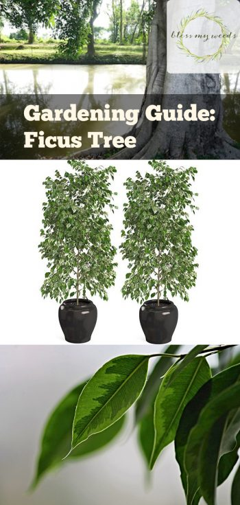 Gardening Guide: Ficus Tree | Ficus Tree | How to Care For Ficus Trees | Tips and Tricks For Caring for Ficus Trees