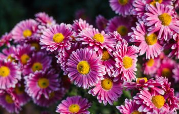 Chrysanthemums are a good flower that provides natural pest control for a garden