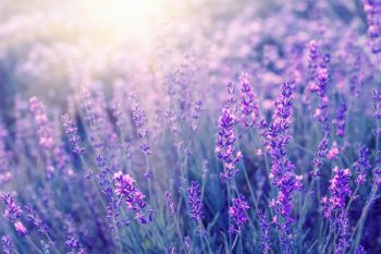 lavender repels insects for natural pest control in the garden