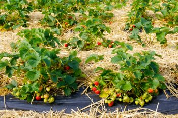 planting strawberries, how to plant strawberries, planting strawberries without mistakes, mistakes with planting strawberries