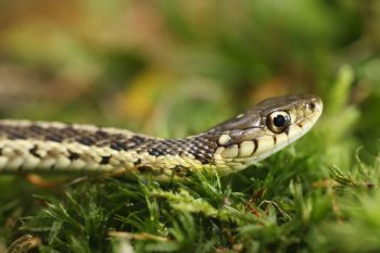 garden snakes, garter snakes, how to deal with garden snakes, about garden snakes, about garter snakes