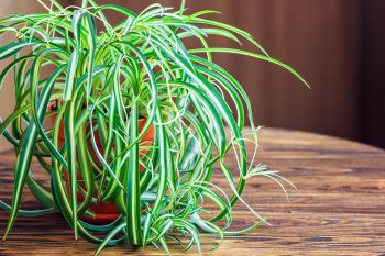 Spider Plants You Won't Be Afraid Of | Spider Plants | Spider Plants for Your Home | Plant Decor
