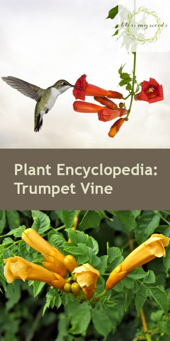 Trumpet Vine | How to Care for Trumpet Vines | Trumpet Vine Care Tips and Tricks | DIY Care for Trumpet Vines | Plant Encyclopedia: Trumpet Vine | Garden | Yard | Landscape