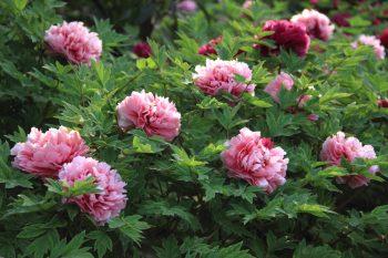 Dividing Perennials | How to Divide Perennials | DIY Garden | Gardening Tips | Flower Gardening Tips | How to Plant and Care for Perennials | Perennials Tips and Tricks