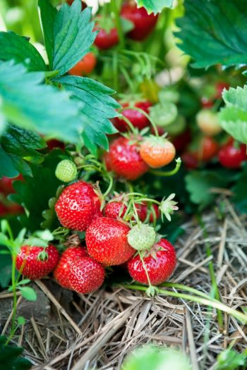 Here are the best tips and tricks for planting strawberries.Never make these common mistakes again with this guide to perfect strawberry plants! Grow your best strawberry crop yet! Everyone will want your strawberries.