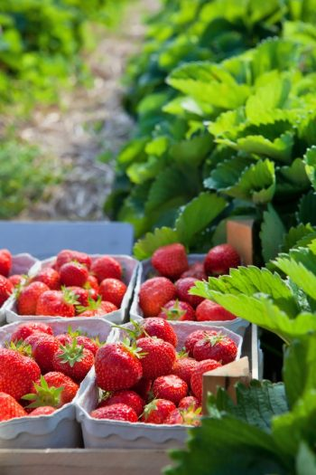 Here are the best tips and tricks for planting strawberries.Never make these common mistakes again with this guide to perfect strawberry plants! Grow your best strawberry crop yet!